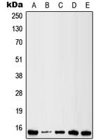 CPA1678-100ul - Galectin-1