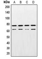 CPA1690-100ul - Lamin-A/C (LMNA)