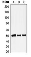 CPA1692-100ul - Lamin-A/C (LMNA)