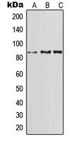 CPA1696-100ul - CD91 / LRP1