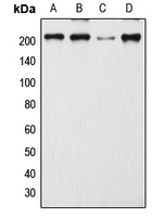 CPA1699-100ul - CD205 / DEC-205