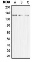 CPA1727-100ul - MCM2
