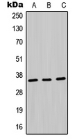 CPA1731-100ul - MDH1