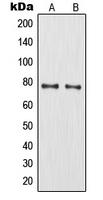 CPA1753-100ul - MMP-9