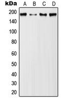 CPA1772-100ul - CD227 / Mucin-1 / MUC1