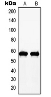 CPA1776-100ul - c-Myc
