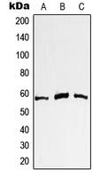 CPA1777-100ul - c-Myc