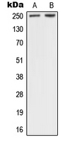 CPA1796-100ul - Neurofibromin