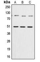 CPA1801-100ul - NF-kB p105 / p50