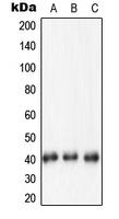 CPA1827-100ul - Nucleophosmin