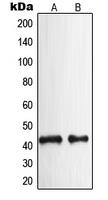 CPA1828-100ul - NPY receptor 2 / NPY2R