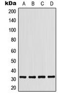 CPA1861-100ul - CD279 / PD1