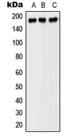 CPA1867-100ul - CD140b / PDGFRB