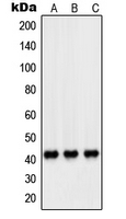 CPA1874-100ul - Peroxin 14 / PEX14