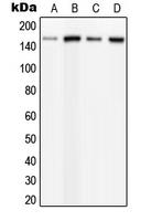 CPA1895-100ul - PLCB3