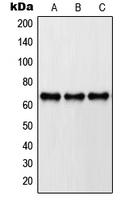 CPA1981-100ul - Paxillin /  PXN