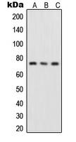 CPA1996-100ul - RELA / NF-kB p65