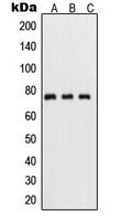 CPA1997-100ul - RELA / NF-kB p65