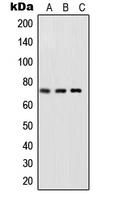 CPA1998-100ul - RELA / NF-kB p65