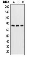 CPA1999-100ul - RELA / NF-kB p65
