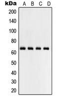 CPA2000-100ul - RELA / NF-kB p65