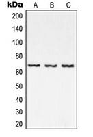 CPA2001-100ul - RELA / NF-kB p65