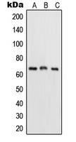 CPA2002-100ul - RELA / NF-kB p65