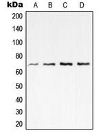 CPA2003-100ul - RELA / NF-kB p65