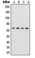 CPA2005-100ul - RELA / NF-kB p65