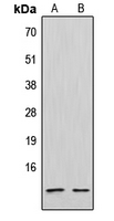 CPA2053-100ul - CXCL12 / SDF1
