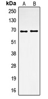 CPA2096-100ul - Osteopontin / SPP1