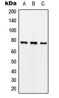 CPA2131-100ul - Synapsin-1