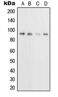 CPA2152-100ul - CD71 / TFRC