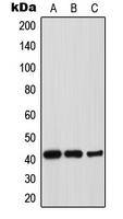 CPA2161-100ul - Thrombopoietin