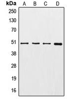 CPA2197-100ul - TUBG1 / Tubulin gamma 1