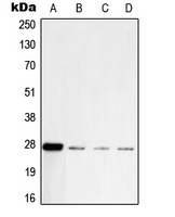 CPA2207-100ul - UCHL1 / PGP9.5