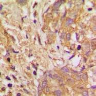 CPA2220-100ul - VEGF-B