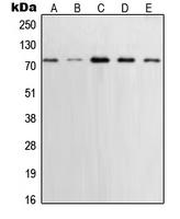 CPA2234-100ul - XRCC1