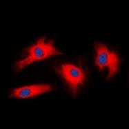 CPA2244-100ul - 14-3-3 protein zeta/delta