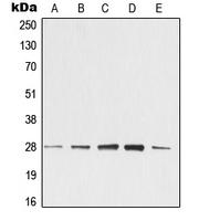 CPA2245-100ul - 14-3-3 protein zeta/delta