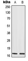 CPA2273-100ul - Histone H3