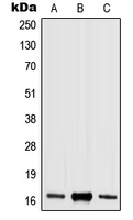 CPA2274-100ul - Histone H3