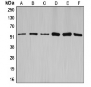 CPA2335-100ul - Cyclin A1/2