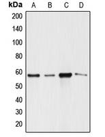 CPA2346-100ul - Angiopoietin-3
