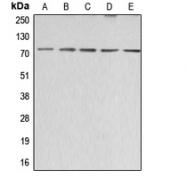 CPA2390-100ul - CD338 / ABCG2 / BCRP1
