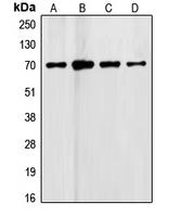 CPA2487-100ul - Follistatin
