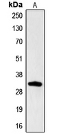 CPA2504-100ul - CGREF1