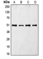 CPA2533-100ul - CDC37