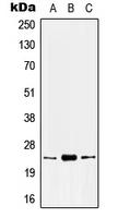 CPA2537-100ul - KLK8 / Kallikrein-8