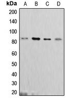 CPA2548-100ul - Cortactin